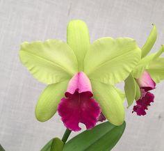 Rhyncholaeliocattlya Yen Surprise 'Seiko' (Rhyncholaeliocattlya Waikiki Gold x Cattleya Ann Folis) #rhyncholaeliocattleya #cattleya #orchid #orchidsbyhausermann | by Orchids by Hausermann