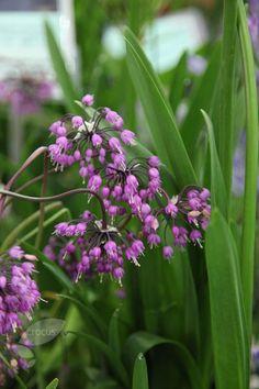 FOR BORDER PATIO ROCKERY GARDEN PERENNIAL PLANT MOUNTAIN LOVER // PINK LILY LEEK 20 PINK ALLIUM OREOPHILUM BULBS