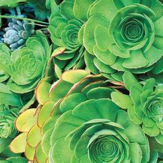 Canary Island Aeonium (Aeonium canariense)   This showy succulent is also known as velvet rose because of the fine fuzz on its leaves. Its varieties are hardy only to 25 to 30 degrees F, though, so gardeners in colder climates need to overwinter them indoors in containers.