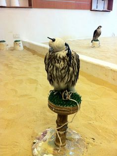 A Falcon in Doha, Qatar