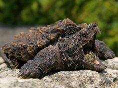 Alligator snapping turtle (Macrochelys temminckii)