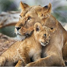 Cute Lion Cub And Her Mother 🦁❤️ ____________________________________________________ VideoCredit: ____________________________________________________ ____________________________________________________ Direct message for shoutouts/promos📩 Big Cats, Cats And Kittens, Cute Cats, Animals And Pets, Baby Animals, Cute Animals, Beautiful Cats, Animals Beautiful, Beautiful Creatures