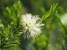 Swamp Paperbark Melaleuca ericifolia