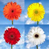 Gerberas Your Choice of Color 60 Flowers