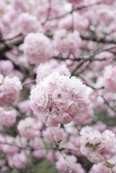 Spring Flowering Trees, Flowering Cherry Tree, Blooming Trees, Blossom Garden, Spring Blossom, Cherry Blossom Flowers, Blossom Trees, Henri Matisse, Cherry Tree Varieties