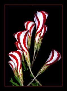Candycane Sorrel (Oxalis versicolor)
