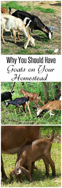All the benefits of having goats on your homestead.  |  from Oak Hill Homestead
