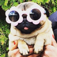 Vines of funny pets. Pugs are fantastic. Vines of funny dogs. Pugs are amazing. Animals And Pets, Baby Animals, Funny Animals, Cute Animals, Pug Love, I Love Dogs, Pug Kawaii, Pug Puppies, Cute Pugs