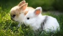 yavru tavşanlar ile ilgili görsel sonucu