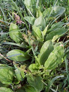 PIANTAGGINE Plantaginaceae: le varietà più comuni sono la piantaggine maggiore (Plantago major) e la piantaggine minore (Plantago lanceolata)  Ha un ottimo rapporto calcio fosforo ed è ricca di fibre quindi è consigliatissima come alimento