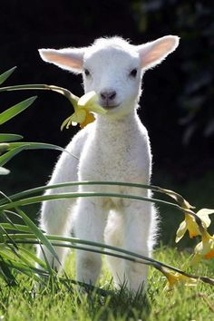 sweet lamb - how can something that looks as sweet as this end up on the dinner table?- exactly why I refuse to eat Lamb.