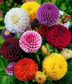 This is for 50 Dahlia Pom Pom Mix seeds these get to be about to tall. This is a good mix of colors if you are looking for growing a showy display of dahlia. These grow well from seeds and can be planted in pots also they are a annual. Wonderful Flowers, My Flower, Pretty Flowers, Colorful Flowers, Flower Power, Pretty Pastel, Pastel Colors, Happy Flowers, Summer Flowers