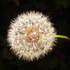 dandelion  For some it's a weed, to other's it's a flower; just depends on how you look at things.