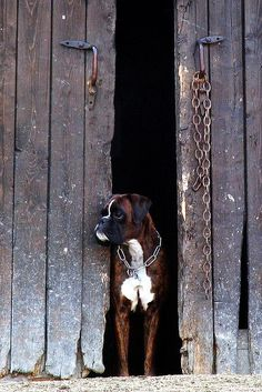 Two of my favorite things, boxer in a barn.