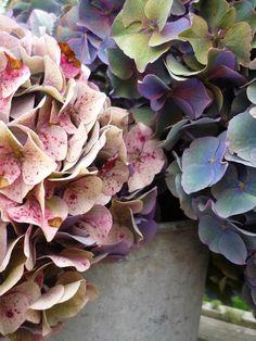 Des hortensias aux couleurs d'automne