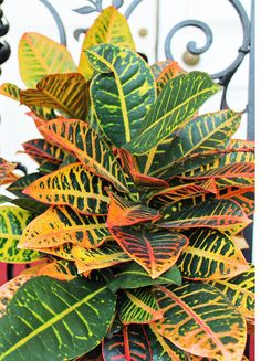 CROTONS need a very brightly lit location so that they keep their bright colors. They enjoy a western or southern window location. Crotons need to have their soil evenly moist at all times, they tend to wilt easily if the soil is too dry. On the other hand if the soil is too wet the leaves will turn brown on the edges. These plants also prefer to have a location with higher humidity. It is generally recommended that they be placed somewhere with a humidity of 40-80%.