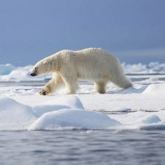 Give polar bears a stronger recovery plan. Please sign.