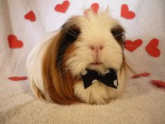 The Guinea Pig Daily: Happy Valentines Day!