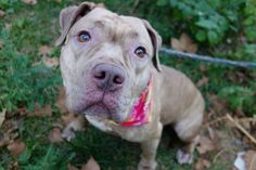 FAUSTA - A1091635 - - Manhattan  Please Share:TO BE DESTROYED 10/10/16 A volunteer writes: So sweet, so shy, this little girl had my heart at hello. Shy in her kennel she needed a little coaxing to join me for a walk, but each time I passed her kennel later in the day she was up front with a little tail wag. After going potty the moment we were out the door(confirming that she's housetrained per her former owner) we're off to the park where she gently poses for
