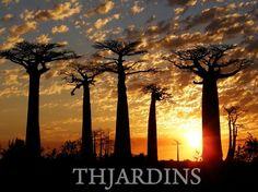 TH JARDINS - ADANSONIA GRANDIDIERI - BAOBÁ DE MADAGASCAR