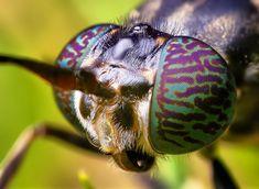 Black Soldier Fly Head - (Hermetia illucens) by Thomas Shahan, via Flickr