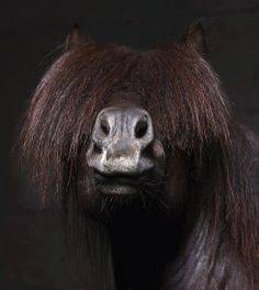 Icelandic Horse in bad need of a haircut