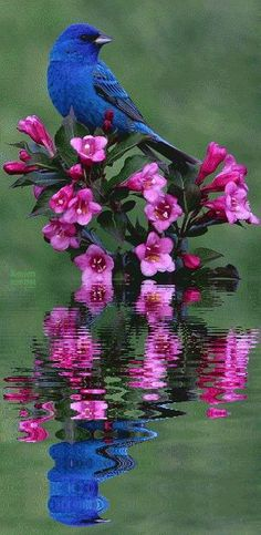 reflection of pink flowers and blue indigo bird
