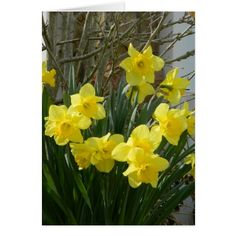 Daffodils in Spring Greeting Card