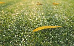 Looking for a highly resilient turf variety? Buy Sir Walter! J & B Buffalo Turf Supplies offers this amazing grass type that's self-repairing and can adapt to drought conditions. To order, call 1800 668 786 or visit http://www.buffaloturf.com.au/ today.