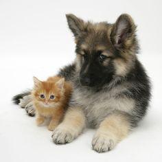 Ginger Kitten with German Shepherd Dog (Alsatian) Bitch Puppy, Echo