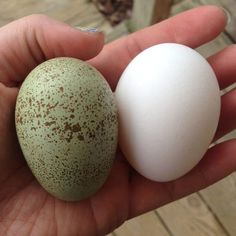 Hatching Eggs - Intense Egg Colors from My Pet Chicken