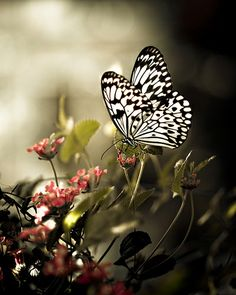 """""""The black and white butterfly stood out against the green buds."""""""