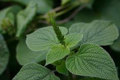 Hierbas fungicidas, plantas de condimentos, plantas medicinales 1
