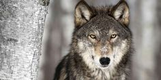 Norway to Kill 47  of Its Remaining 68 innocent Wolves.120,000 sheep go missing a year and maybe between 380-1800 die because of wolves. so Norway what about the other 118,000 that died because of other reasons