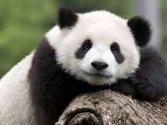 stock photo portrait of a captive born giant panda in the