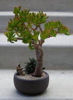 The Slanting Style in Bonsai - Gardening Site Jade Bonsai, Succulent Bonsai, Succulent Gardening, Bonsai Plants, Bonsai Garden, Cacti And Succulents, Planting Succulents, Planting Flowers, Juniper Bonsai