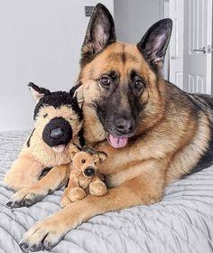 I'm still your favourite Shepherd right mom? 🙄 Follow Mia👉@mimi_the_gsd  #germanshepherds#germanshepherdmemes#germanshepherdphotos#germanshepherddog #gsdstagram#germanshepherdpictures#gsd#gsdphotos #gsdpictures #germanshepherdpuppy #germanshepherdpuppies German Shepherd, German Shepherds, german shepherd community German Shepherd dog, german shepherd memes, german shepherd photos, gsdstagram, german shepherd pictures, gsd, gsdphotos, gsd pictures German Shepherd Memes, German Shepherd Pictures, German Shepherd Puppies, German Shepherds, Puppy Training Tips, Husky, Dog Cat, Cute Animals, Poses