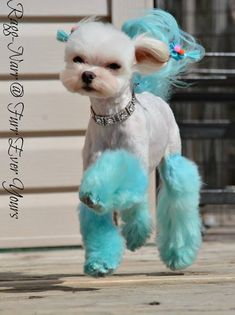OPAWZ Permanent Dye Innocent Blue with 5 mins left on hair asian fusion dog grooming by - Haare Stylen Dog Hair Dye, Dog Dye, Dog Grooming Styles, Pet Grooming, Grooming Shop, Pet Dogs, Dogs And Puppies, Pets, Maltese Puppies