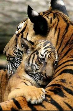 Tiger cub and mom. tiger cub and mom baby animals, animals and pets, cute Nature Animals, Animals And Pets, Wildlife Nature, Animals Planet, Animals Images, Wild Life Animals, Happy Animals, Farm Animals, Beautiful Cats