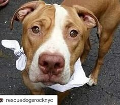 #Repost @rescuedogsrocknyc with @repostapp  We are CRAZY IN LOVE with Chase who is 1 year old. But let us begin from the beginning and you may want to sit down before you read this: Chase was brought in as a stray by a policeman. Chase proceeded to sit on that policemans lap in the admissions lobby the entire time he was waiting to be admitted to the shelter and when the policeman left Chase cried. Were betting the policeman cried too because leaving this boy behind is a heartbreaker. He is…