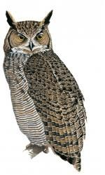 Lesser Horned Owl Bubo magellanicus - Google Search