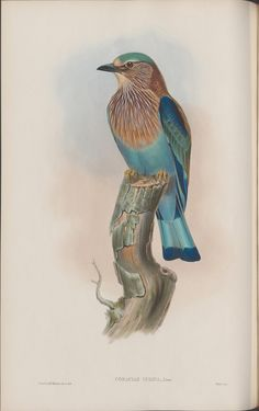 The Indian Roller. From Bibliodyssey.