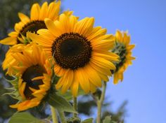Here's how to harvest your own sunflower seeds!