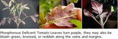 Tomato Plants Turn Purple