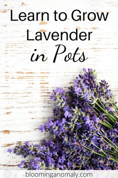 Learn how to grow a lavender garden using different types of the herb. Don't forget to check out the bonus lavender recipe at the bottom of the post. Click on the pin to learn more about growing lavender in pots. #lavenderplant #lavendergarden #lavenderherb #lavenderrecipe Lavender Uses, Dried Lavender Flowers, Lavender Recipes, Growing Lavender, Lavender Garden, Lavender Fields, Gardening For Beginners, Gardening Tips