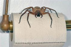 The Huntsman Spider - don't worry....it's harmless to humans!  I'd still scream.  Actually, I'd do more than that.....