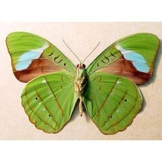 Real Green Leaf Conservation Quality Framed Butterfly 648