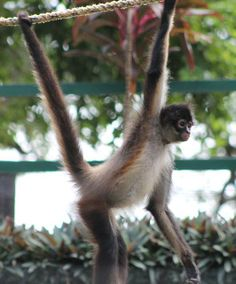 Yucatan Spider Monkey (Ateles geoffroyi yucatanensis)