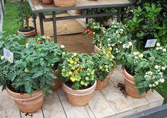Balkon- Gemüse und - Kräuter Anbau