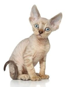 Information about Devon Rex, Cat breeds Sphynx Kittens For Sale, Puppies And Kitties, Cats And Kittens, Exotic Cats, Exotic Animals, Baby Animals, Cute Animals, Devon Rex Cats, Cornish Rex Cat